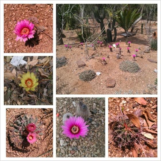 QM Cactus in Bloom