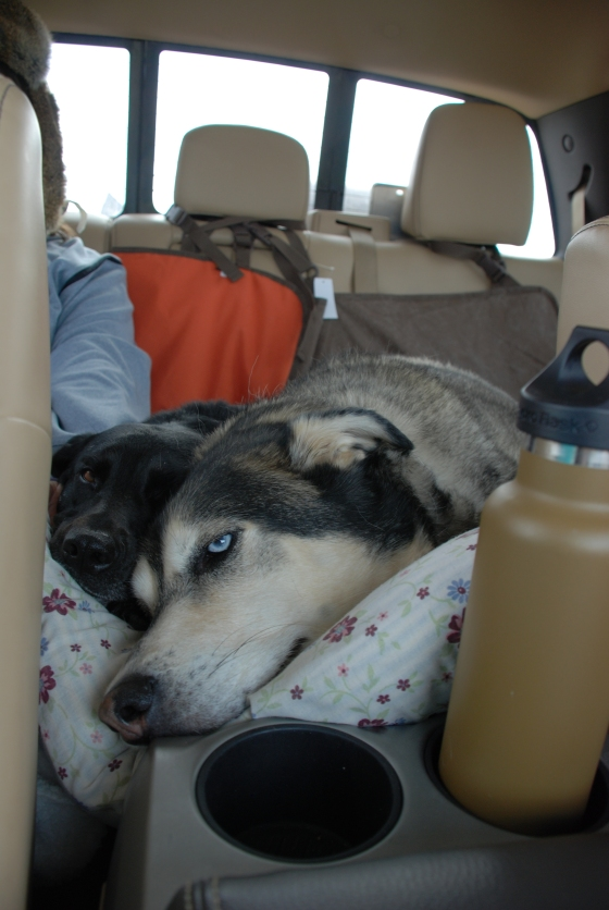 Bogie and Spartacus are such good travelers.  I can't even handle the cuteness!