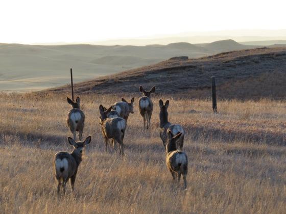 Montana Mule Deer Does