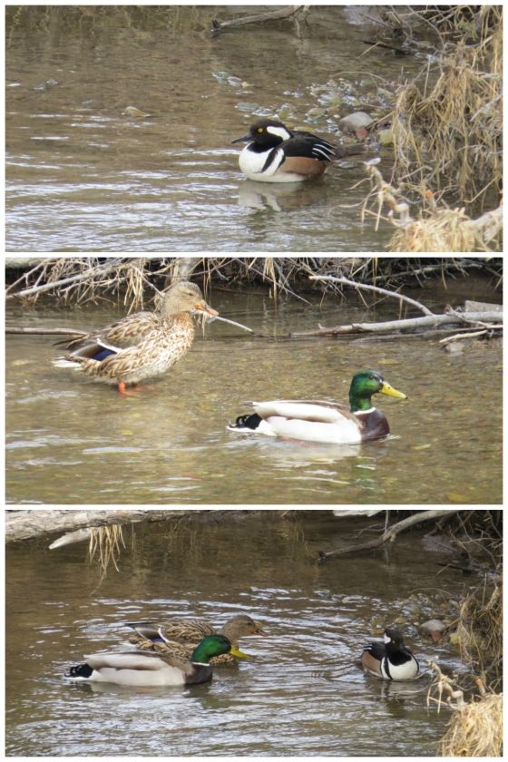 National Bison Range duck collage