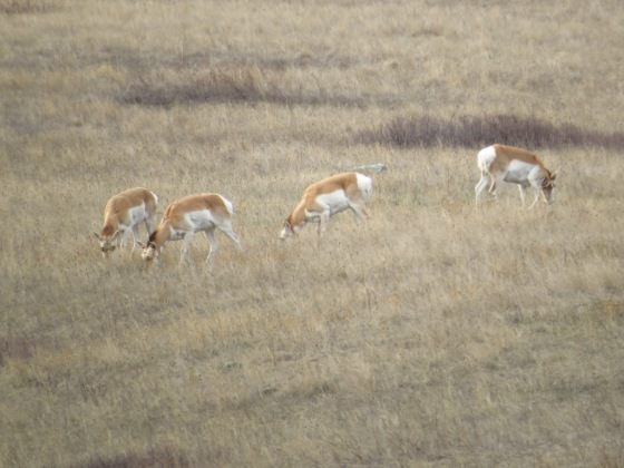 National Bison Range Pronghorn (2)