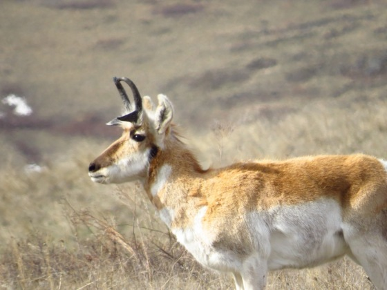 National Bison Range Pronghorn (3)