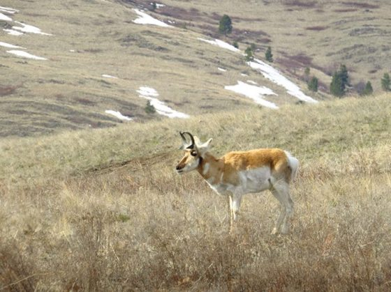 National Bison Range Pronghorn